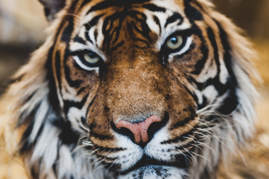 Stunning portrait photo of a tiger sitting back and staring at the camera with its head ever-so-sightly cocked. It is an orange tiger with white-ish neck and muzzle fur and intense grey eyes.