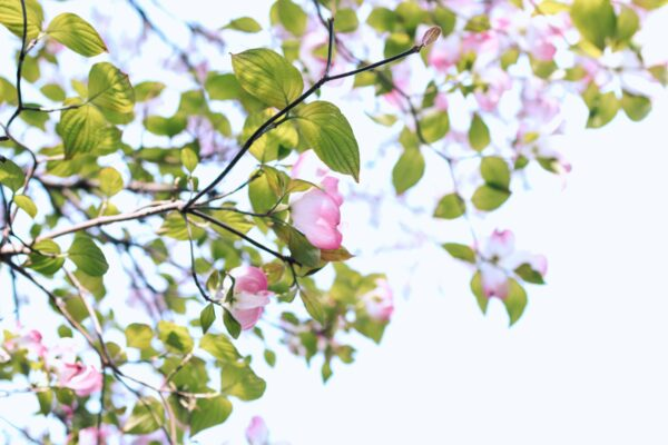 Photo of tiny tree branches with white and pink flowers and green leaves against a pale blue sky in the daytime